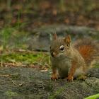Juvenile American Red Squirrel