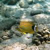 Bluestripped Butterflyfish
