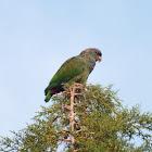 Scaly-headed Parrot, Maitaca-verde(Brazil)