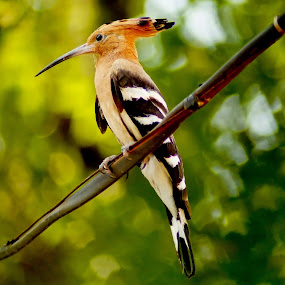 Common Hoopoe.  by Faizan Hussain - Animals Birds ( nature, trees, wildlife, forest, close up, birds, colours )