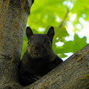 Black Eastern Gray Squirrel (melanistic)