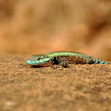 Common Flat Lizard