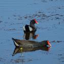 North American Common Gallinule