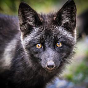 Fox Kit by Eugene Ball - Animals Other Mammals ( canine, fox, newfoundland, animal, red fox,  )