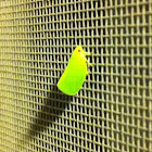 Conehead Planthopper