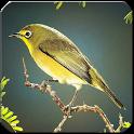 Kicau Master Burung icon
