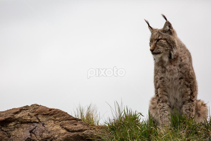 Lynx by Marsilio Casale - Animals Lions, Tigers & Big Cats ( big cat, cat, nature, lynx, animal,  )