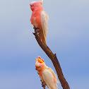 Pink Cockatoo ( Major Mitchell Cockatoo )