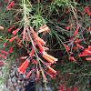 Firecracker Plant