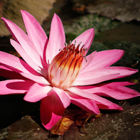Pink Lotus by Roland Roger - Flowers Flowers in the Wild (  )