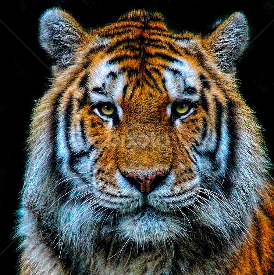 Tiger Portrait by John Larson - Animals Lions, Tigers & Big Cats