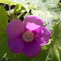 Purple Flowered Raspberry