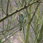 Broad-billed humming bird