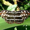 Acontius Firewing, mariposa, butterfly, borboleta