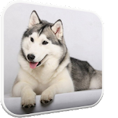 Husky licks glass Video LWP