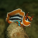Magnificent Chromodoris & Orange-edged Sap Sucking Slug
