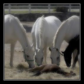 care by Milan Malovrh - Animals Horses ( lipicanci,  )