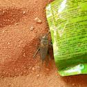 Garden Cricket