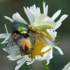 Ambush Bug nymph feeds on Bottle Fly