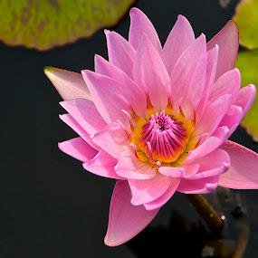 Waterlily by Roy Walter - Flowers Single Flower ( waterlily, nature, single flower, summertime, flower )