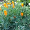 California Poppy or Golden Poppy