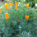 California Poppy or Golden Poppy