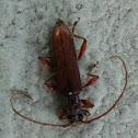 Longhorn Beetle 天牛