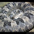 Hog-Nosed Viper / Mapanare