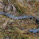 Tiger snake (Tasmanian)