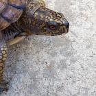 Ornate/Gulf coast box turtle hybrid