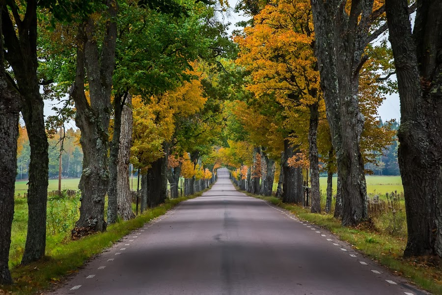 Avenue in fall at Brevens Bruk, Sweden. by Per-Ola Kämpe - Landscapes Travel ( tree, autumn, green, avenue, fall, trees, yellow, road, landscape, color, colorful, nature )