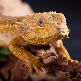 smug by Kevin Towler - Animals Reptiles ( sand, wild, lizard, nature, reptile,  )