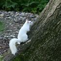White (Albino) Squirrel