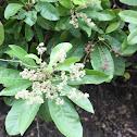 Buchanania