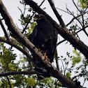 Mangrove Black-Hawk or Common Black-Hawk