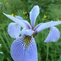 Larger Blue-Flag Iris versicolore