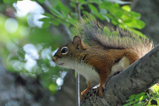 squirrel-Halifax - A squirrel in Halifax, Nova Scotia.