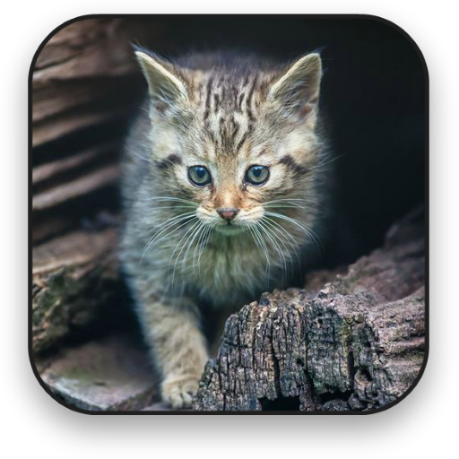 Cat Live Wallpaper APK Android PC Windows