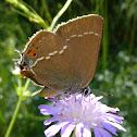 Blue Spot Hairstreak Butterfly