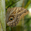 Dark Owl Butterfly
