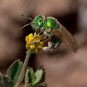 Metallic sweat bee (female)