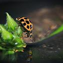 Large Spotted Ladybird Harmonia conformis
