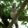 White Throated Magpie-Jay