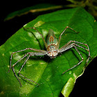 Great Lynx Spider
