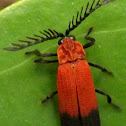 Bloody Net -wined beetle