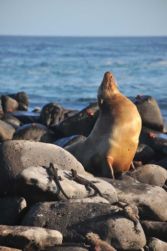 Galapagos_sea_lion - When exploring the Galapagos Islands aboard Silver Galapagos, guests are likely to see sea lions loll about the coast.