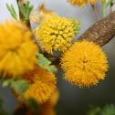 Flor de Huizache