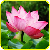 5D Lotus Flower wallpaper