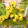 cactus euphorbia candelabrum