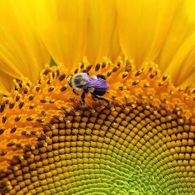 Sunflower by Dominick Darrigo - Flowers Single Flower